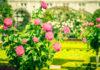 Ruže v kozmetike – pre vašu pleť to najlepšie