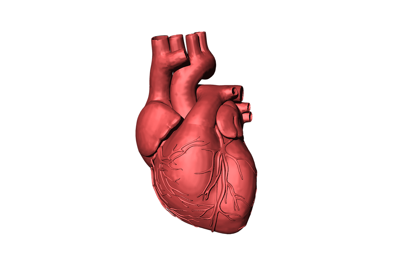 Srdce (Zdroj: https://pixabay.com/en/heart-blood-organ-human-beat-life-1765298/)